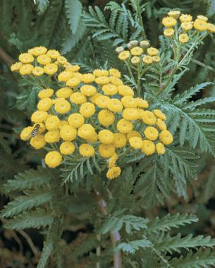 yellow button flowers of tansy attract lady beetles, lacewings, minute pirate bugs, and parasitic wasps.