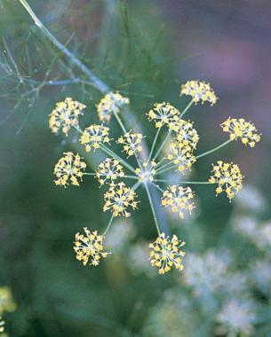 The tiny flowers of umbelliferous plants