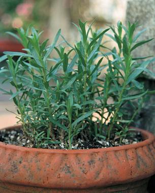 Tarragon growing in a container