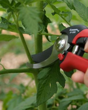 Pruning Tomato Plant