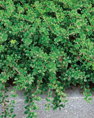 Tough Ground Covers - FineGardening