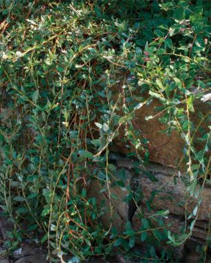 creeping willow ground covers