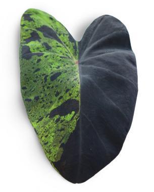 'Mojito' Leaf