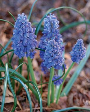 M. armeniacum 'Blue Spike'