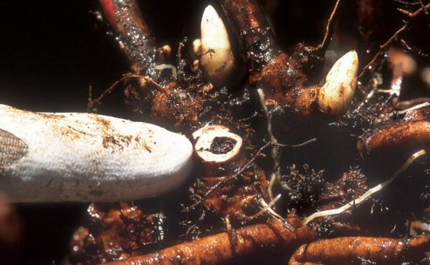 perennial plants root disease