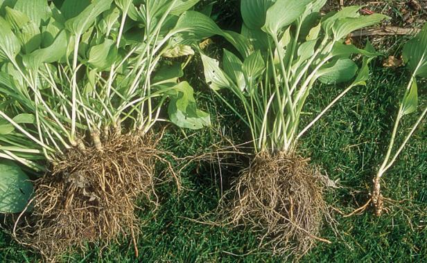 10 Tips On Dividing Perennial Plants Finegardening