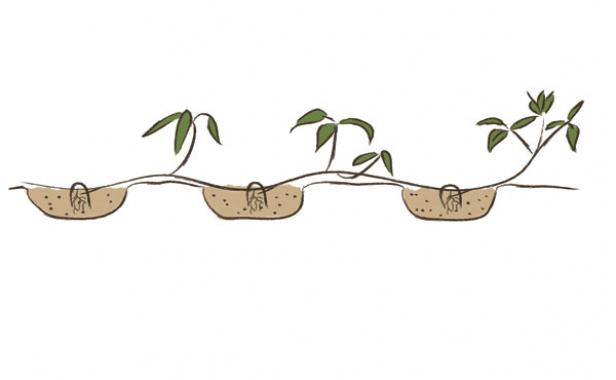 serpentine layer shrub roots