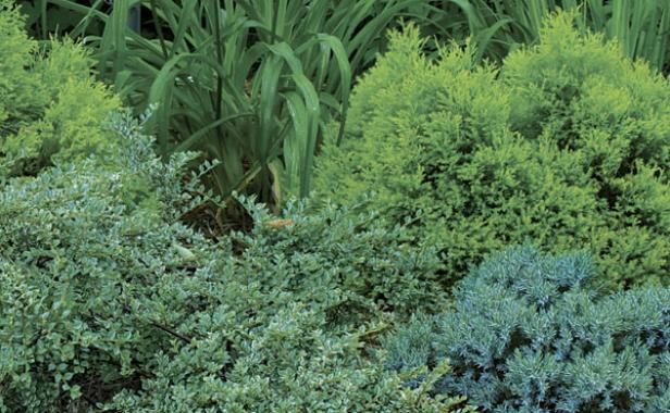 Dwarf Conifers  Better Homes and Gardens