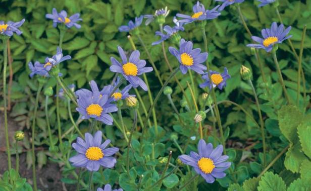 Blue Marguerites