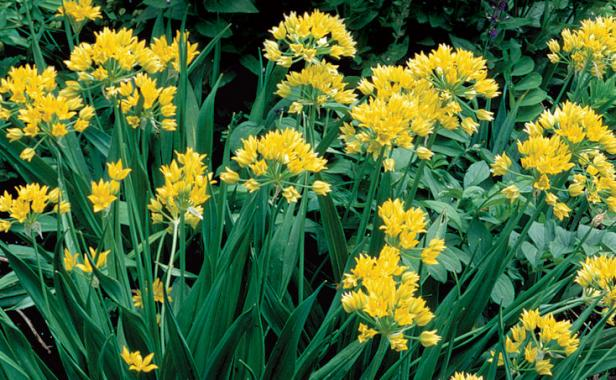 Alliums All Season Long Finegardening