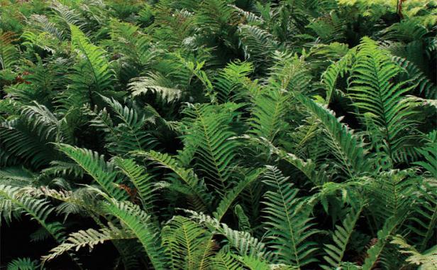 ostrich fern ground covers