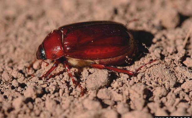 May/June beetles