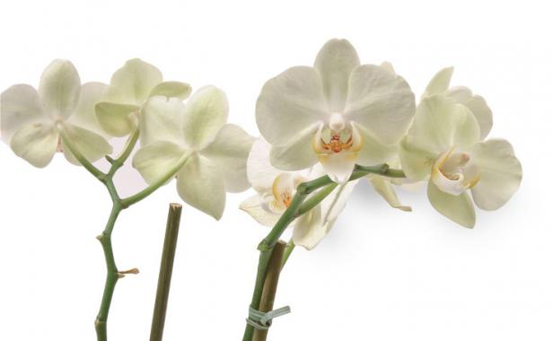 Why Won T My Orchid Rebloom Finegardening