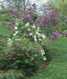 Underplant lilacs with other spring flowers.