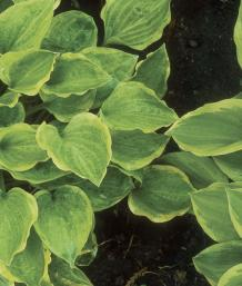 Hostas With Odd Looking Leaves May Have A New Virus Finegardening