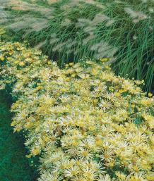 'Illusion' Chrysanthemum