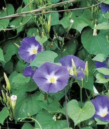 'Heavenly Blue' morning glory (Ipomoea tricolor 'Heavenly Blue')